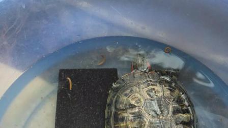 巴西龟吃面包虫