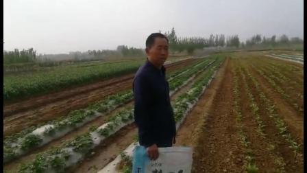 耕田乐的土豆苗叶片黑厚长得高