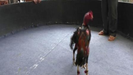 凭祥小苏3572《越南精选》特重脚高质量大骨架压脖魔术红VS高质量快重脚蛮黑