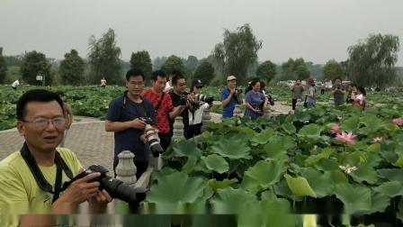 淮阳龙湖荷花开 县摄影家协会为荷而拍走进东湖荷花苑拍下精彩的镜头