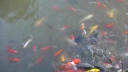 营山县湿地公园的金鱼