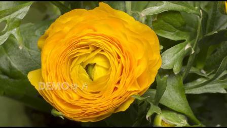 c374 4K雍容黄色牡丹花束花朵开花绽放过程实拍视频素材鲜花盛开过程延时摄影