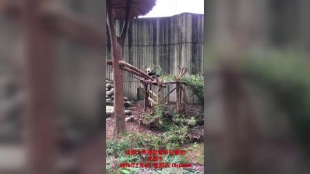 成都熊猫基地·刚生的小熊猫