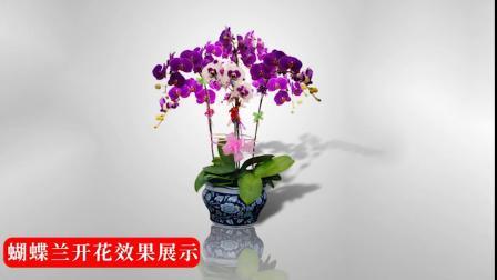 蝴蝶兰花苗盆栽带花苞大苗开花带花剑客厅花卉观花植物室内花