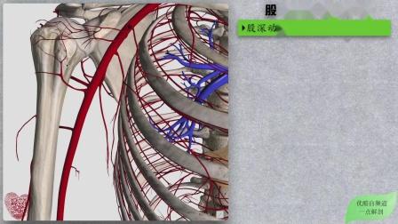 150系统解剖学3D:循环系统➙动脉W股动脉及分支