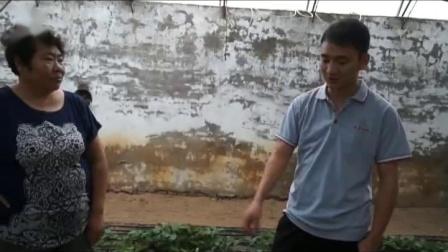 防治草莓炭疽病根腐(青枯立克、靓果安沃丰素病)原理讲解(北京房山区)