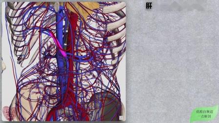 159系统解剖学3D:循环系统➙静脉H肝门静脉及属支