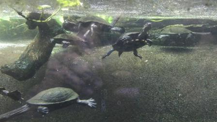 2019 07 Snake-Necked Turtles in National Zoo