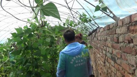耕田乐的西红柿提前上市