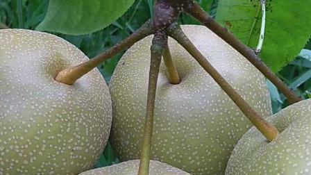 一个枝上5个果我吃了一个大的