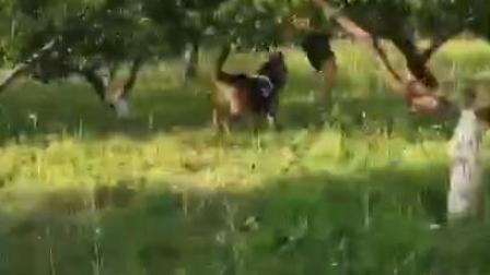 中华保镖安全顾问有限公司 训练警犬