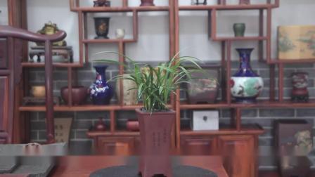兰花苗带花苞浓香春兰张荷素四季兰草花卉室内阳台观花叶盆栽植物