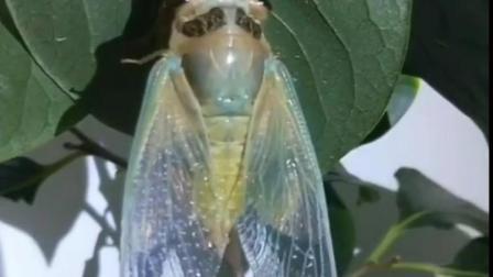 Dy(新采集的金蝉枝条)金蝉脱壳全过程拍来不易……