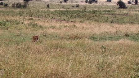 母狮试图捕杀瞪羚