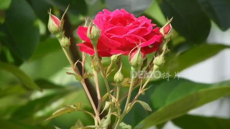 c789 2K高清画质唯美雨后玫瑰月季向日葵鲜花盛开百花争艳鸟语花香实拍视频素材