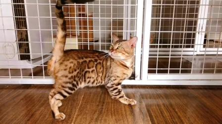 宠爱天下048 孟加拉豹猫活体宠物猫咪豹猫幼猫送芯片证书