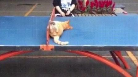 猫咪打乒乓
