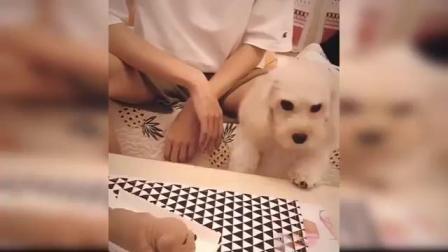 狗狗对切蛋糕的反应——搞笑狗狗蛋糕反应汇编