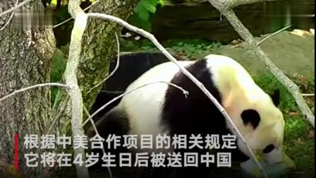 大熊猫贝贝在美庆祝4岁生日 吃豪华生日蛋糕超开心