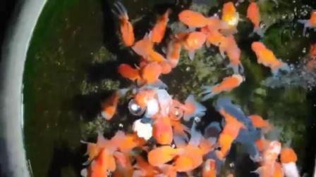 君晓天云金鱼活体观赏鱼淡水鱼冷水小金鱼红狮蝶尾黑龙睛锦鲤鱼小型鱼包邮