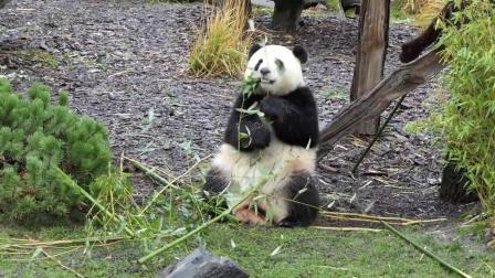【大熊猫梦梦】【大熊猫娇庆】圣诞节和雪 - 190112梦梦吃播