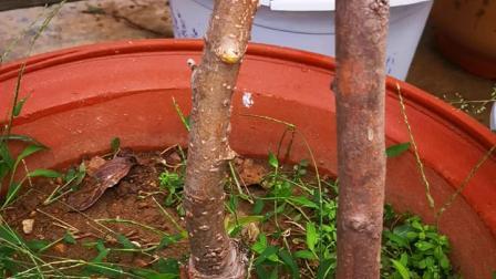 盆栽果树苹果山东临沂盆栽果树原产地