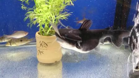 大嘴鲸恰鱼