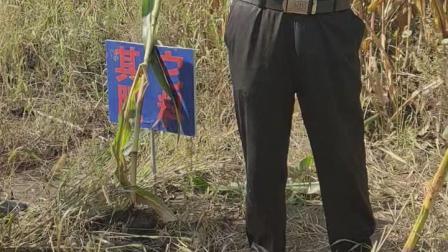 黑龙江省甘南县查哈阳贴心人系列产品玉米标准对比田1