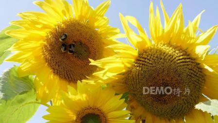 LED 会声会影 v8 超唯美浪漫小清新太阳花向日葵随风摇摆蜜蜂花朵采蜜大自然景色空镜头视频素材 动态视频 超清