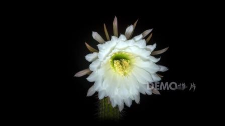 演唱会 歌舞晚会 v284 2k画质超唯美仙人球仙人掌开花延时摄影白色花朵鲜花盛开视频素材 vj视频 动态视频