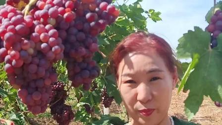 双河市甜美的葡萄!