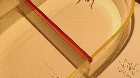 第三路河北红牙青出轨巨大红牙黑斑芝麻点斗蛐蛐蟋蟀秋虫
