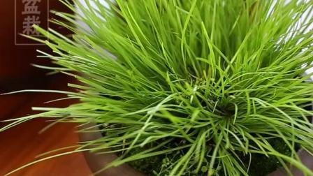 君晓天云室内办公趣味绿植青叶菖蒲金边六月雪君子兰小叶紫檀盆景米竹树苗