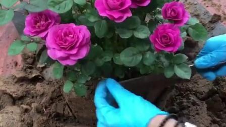 君晓天云荷兰品种阳台大花微月冥王星四季开纯紫色玫瑰花苗观花花卉绿植物