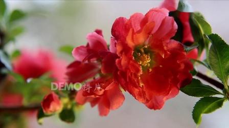 E241 唯美绚丽牡丹花杜鹃花月季花红玫瑰鲜花盛开春天美景大自然空镜头视频素材