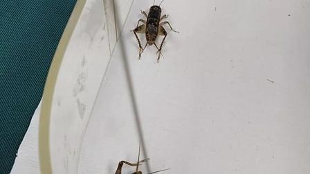 斗秋虫蛐蛐蟋蟀