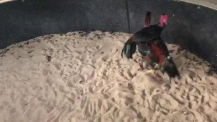 高档毛嫩鸡2