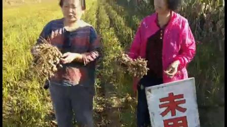 耕田乐的花生产量高、无烂果,裂果