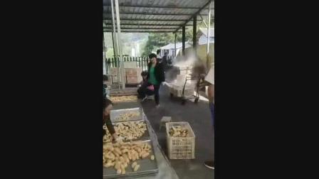 天麻创业-枝江天麻基地2019年度新鲜天麻收购加工