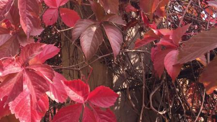 实拍 爬山虎 红叶 高清视频