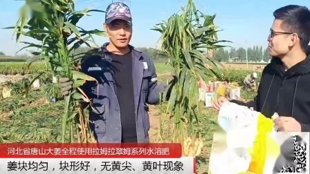 水溶肥-来年继续使用,河北省唐山大姜使用拉姆拉翠姆系列水溶肥,姜块均匀,块形好