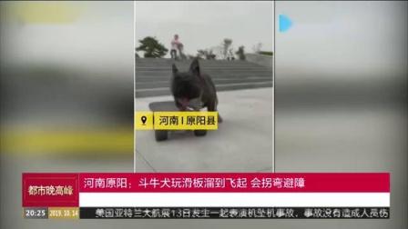 河南原阳:斗牛犬玩滑板溜到飞起会拐弯避障