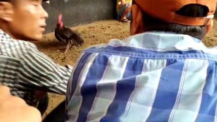 10161-1/4特重脚打胸大赛鸡6.2斤(血统参考)