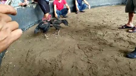 10161-3/4特重脚打胸大赛鸡6.2斤(血统参考)