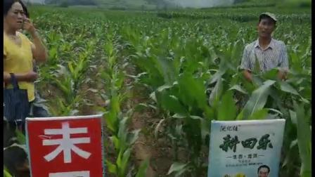 耕田乐的玉米——对比明显 用户满意