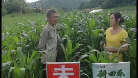 同样的地在地大哥两头分别做了不同的耕田乐玉米对照田