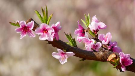 桃花园里的花----(纯音乐 - 林中漫步)