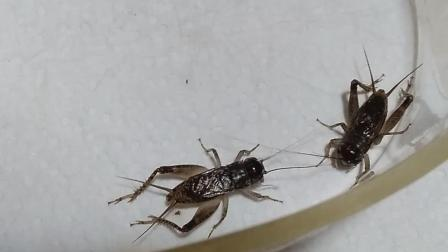 斗蛐蛐蟋蟀秋虫河北虫可以的