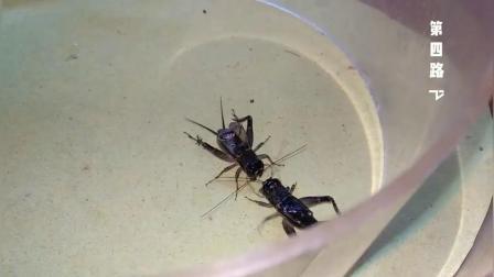 蟋蟀(八路夾尾)