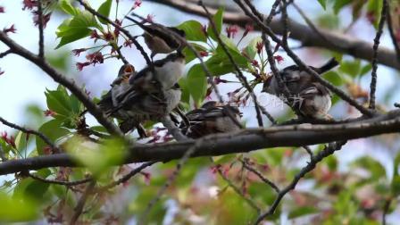 中国风视频 粒子视频 f455 2k画质小清新蜂鸟翠鸟在大树上栖息春暖花开大自然景色绿色环保视频素材 大屏幕舞台 炫酷